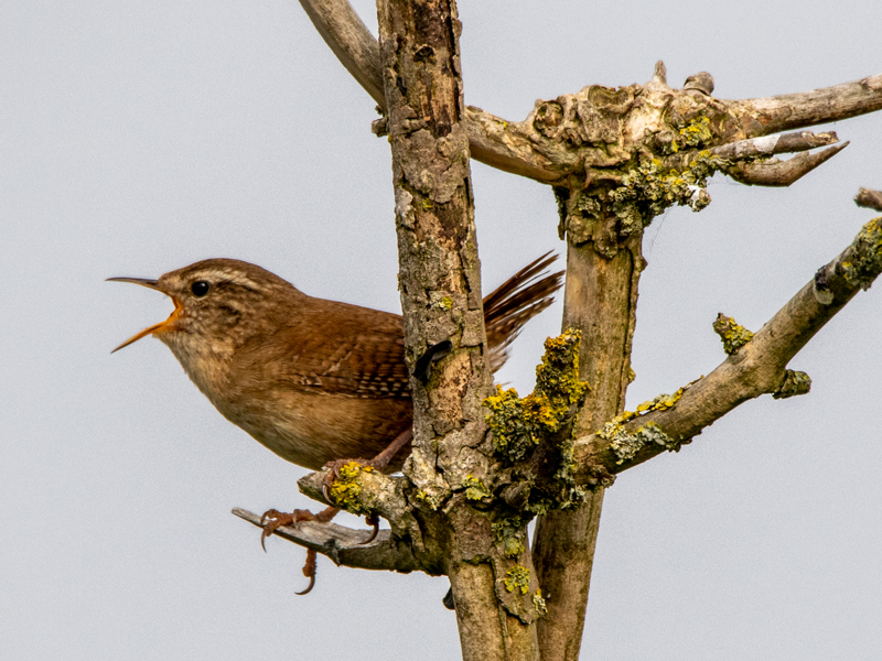 Wren by Mike Duffy - Apr 23rd, Keyhaven