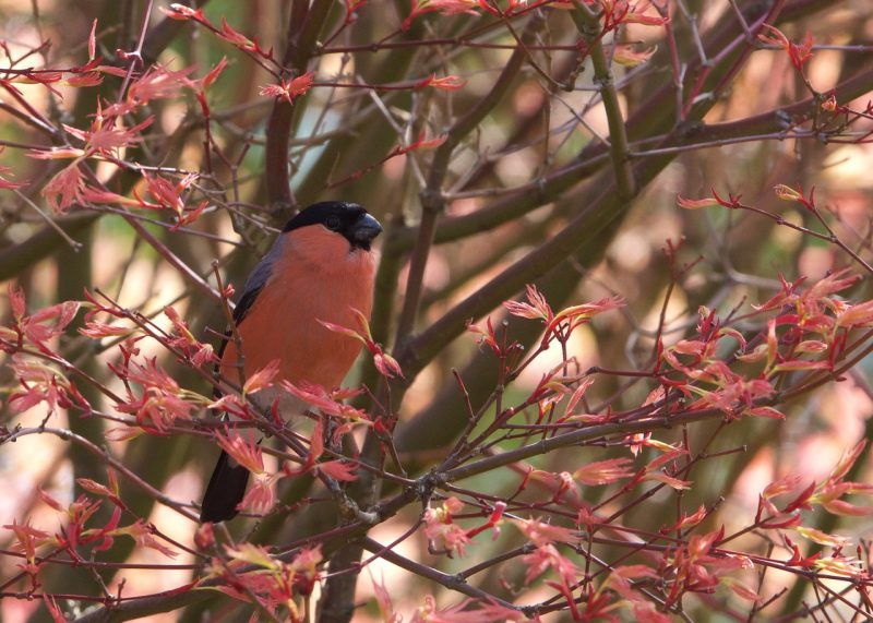 Bullfinch by Martin Bennett - Apr 26th, Furze Hill