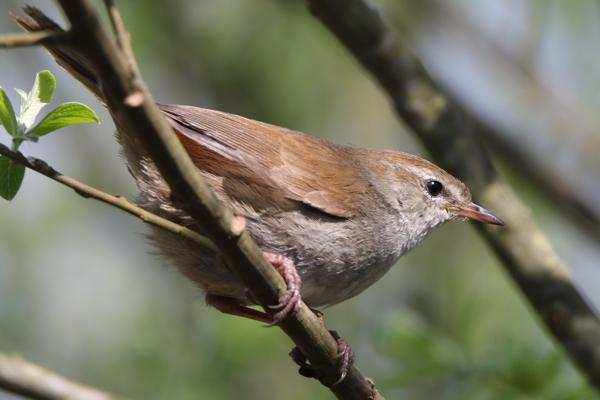 Cettis Warbler by Andy Tew - Apr 20th, Fishlake Meadows