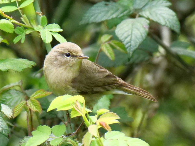 Chiffchaff by Rob Porter - May 7th, Eyeworth Pond