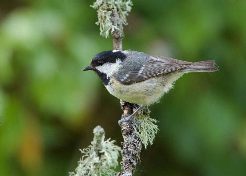 Coal Tit by Martin Bennett - May 2nd, Furze Hill