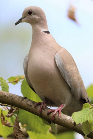 Collared Dove by Brian Cartwright - Apr 10th, Anton Lake