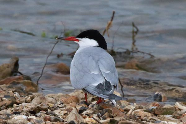 Common Tern by Andy Tew - May 2nd, Blashford Lakes