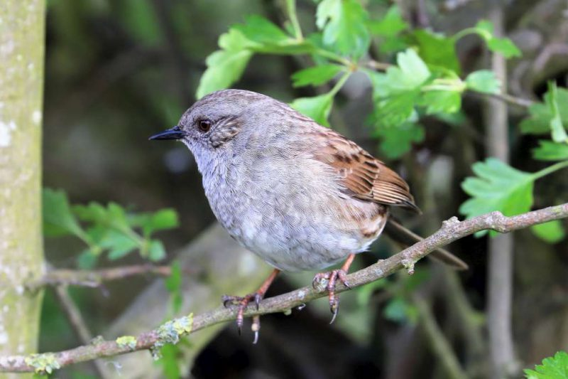 Dunnock by Brian Cartwright - Apr 29th, Anton Lake