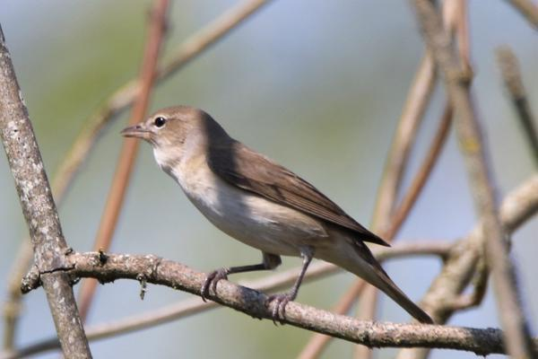 Garden Warbler by Andy Tew - Apr 20th, Fishlake Meadows