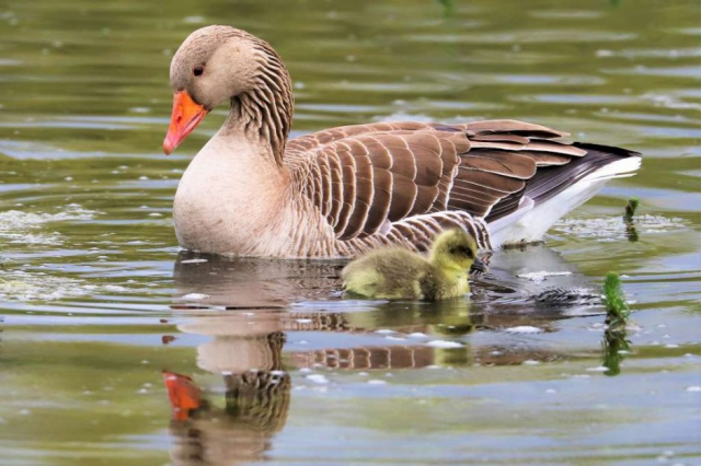 Greylag by Brian Cartwright - Apr 8th, Anton Lake