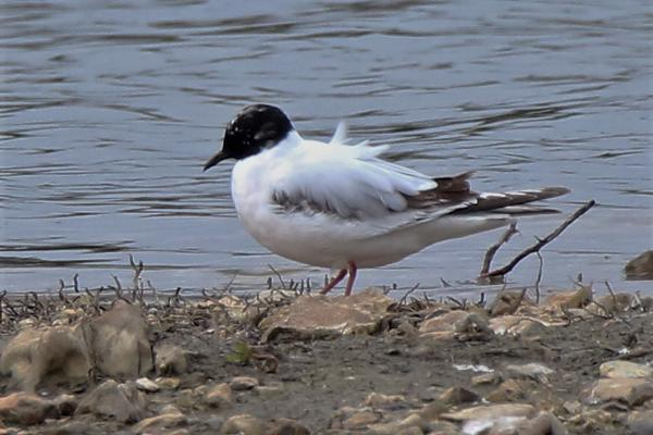 Little Gull by Andy Tew - May 2nd, Blashford Lakes