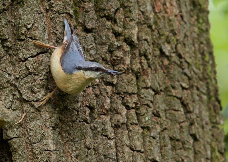 Nuthatch by Martin Bennett - May 6th, Furze Hill