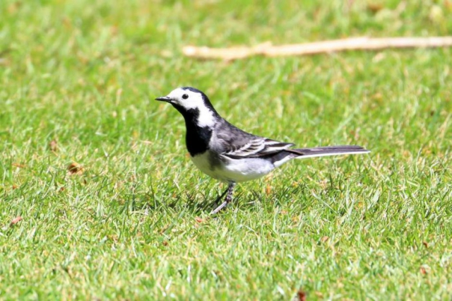 Pied Wagtail by Brian Cartwright - Apr 4th, Mottisfont