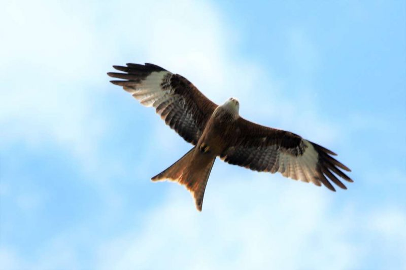 Red Kite by Brian Cartwright - Apr 29th, Anton Lake