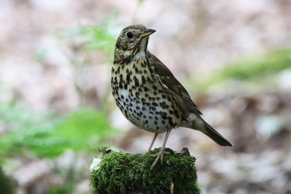 Song Thrush by Andy Tew - May 7th, Eyeworth Pond