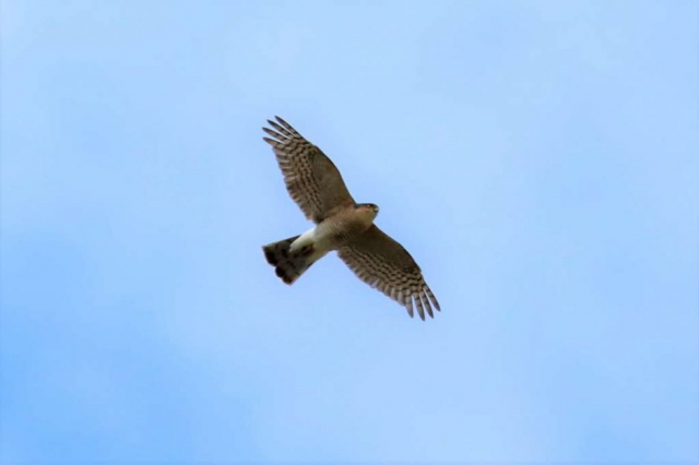 Sparrowhawk by Brian Cartwright - Apr 29th, Andover