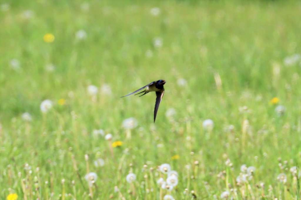 Swallow by Brian Cartwright - Apr 4th, Mottisfont