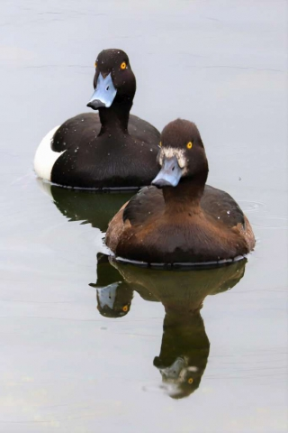 Tufted Duck by Brian Cartwright - Apr 8th, Anton Lake