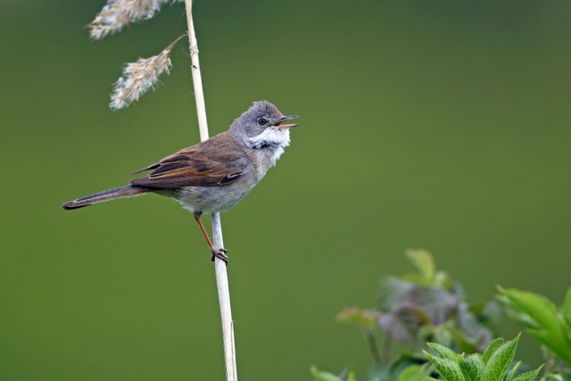 Whitethroat by Richard Jacobs - May 7th, Titchfield Haven