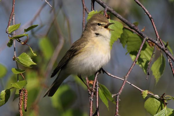 Willow Warbler by Andy Tew - Apr 20th, Fishlake Meadows