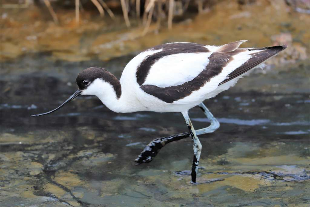 Avocet by Brian Cartwright - June 14th, Pennington Marshes
