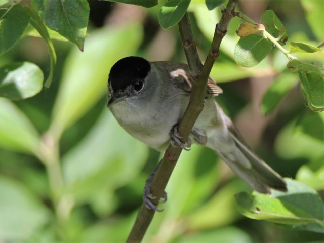Blackcap by Andy Tew - May 22nd, Romsey