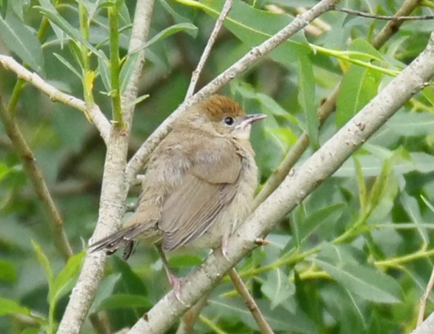 Blackcap by Rob Porter -June 12th, Shawford