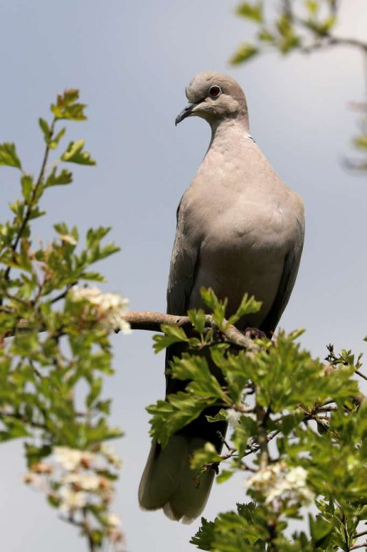 Collared Dove by Brian Cartwright - May 22nd, Anton Lakes
