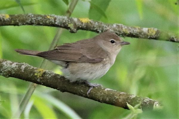 Garden Warbler by Andy Tew - June 12th, Fishlake Meadows