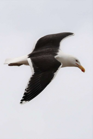 Great Black-backed Gull by Brian Cartwright - June 14th, Pennington Marshes
