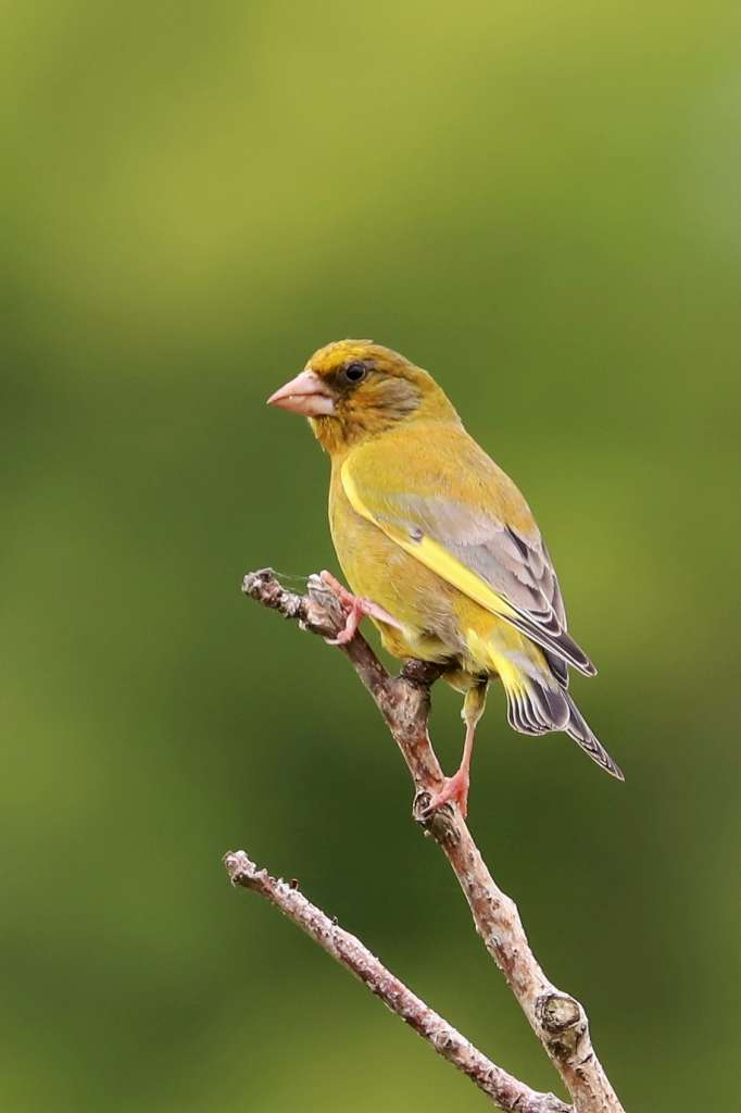 Greenfinch by Brian Cartwright - June 12th, Anton Lakes