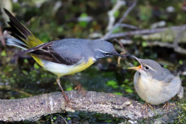 Grey Wagtail by Brian Cartwright - June 3rd, Anton Lakes