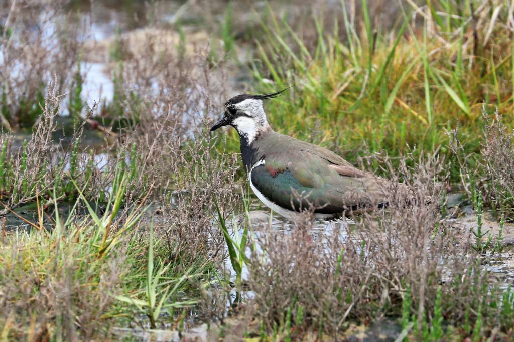 Lapwing by Brian Cartwright - June 14th, Pennington Marshes