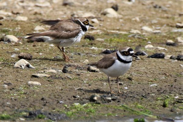 Little Ringed Plover by Andy Tew - May 27th, Pennington Marshes