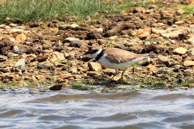 Little Ringed Plover by Brian Cartwright - June 14th, Pennington Marshes