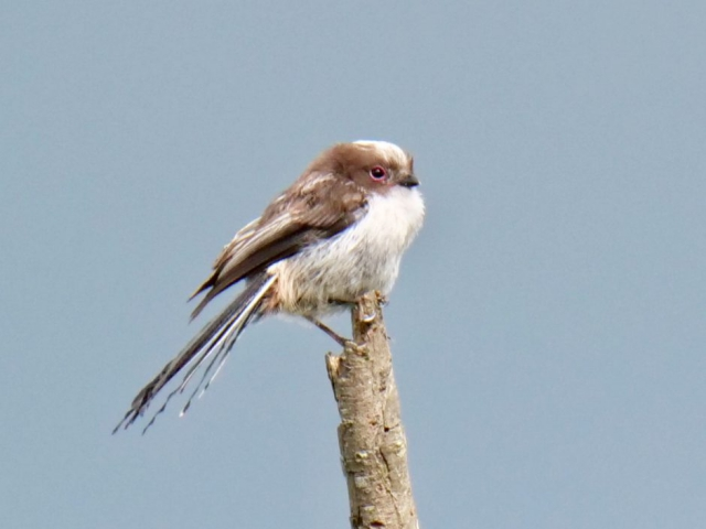 Long Tailed Tit by Rob Porter - May 28th, Lower Test Marshes