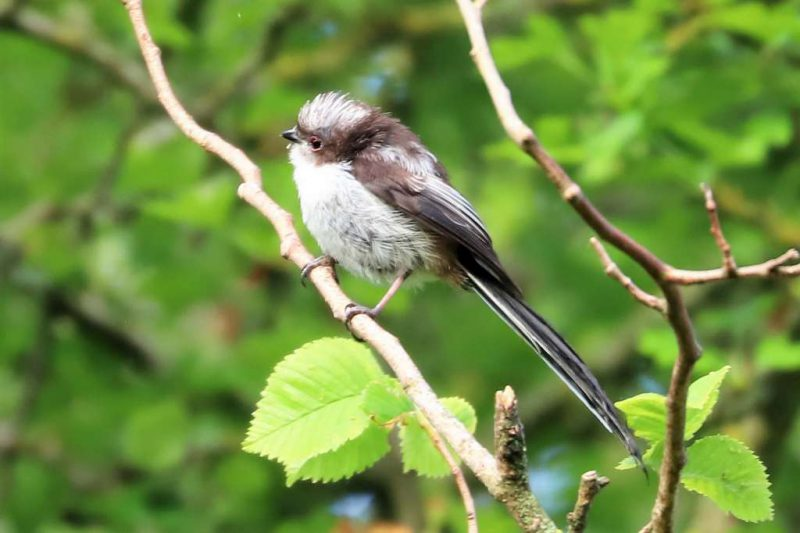 Long-tailed Tit by Brian Cartwright - June 1st, Anton Lakes
