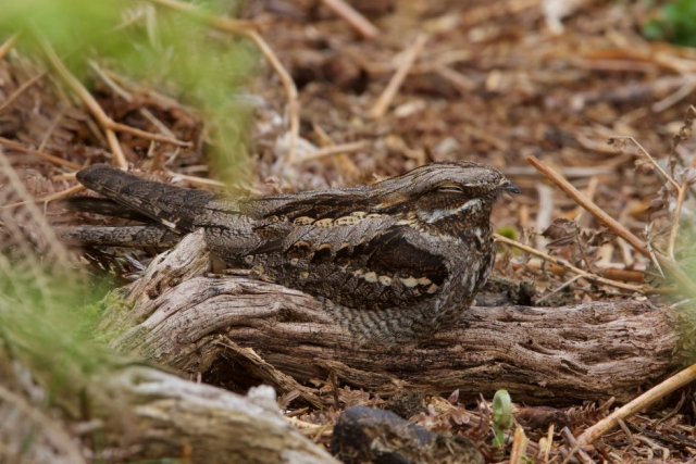 Nightjar by Martin Bennett - May 29th, New Forest