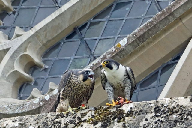 Peregrine by Richard Jacobs - June 2nd