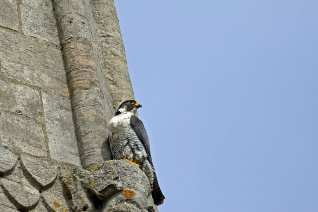 Peregrine by Richard Jacobs - June 9th
