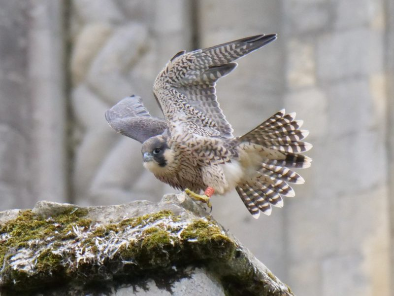 Peregrine by Rob Porter - June 12th