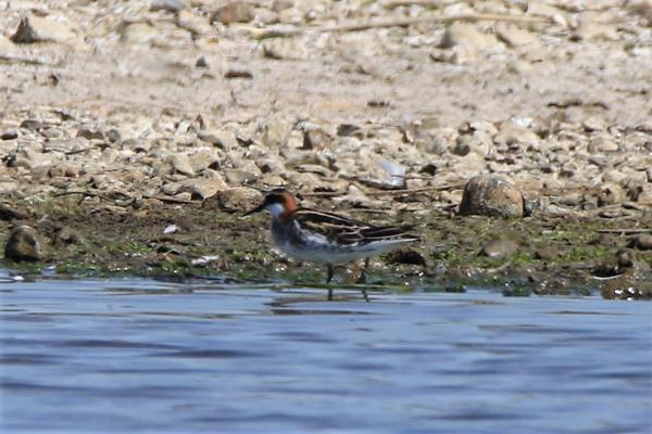 Red-necked Phalarope by Andy Tew - June 1st, Pennington