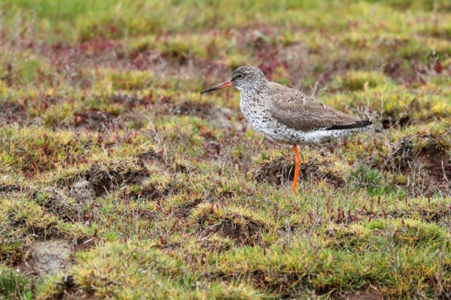 Redshank by Brian Cartwright - June 14th, Pennington Marshes