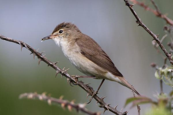 Reed Warbler by Andy Tew - May 27th, Pennington Marshes