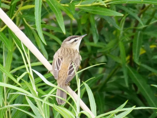 Sedge Warbler by Rob Porter -June 12th, Shawford