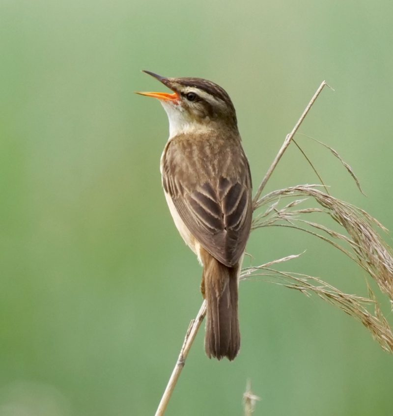 Sedge Warbler by Rob Porter -June 26th, Lower Test Marshes