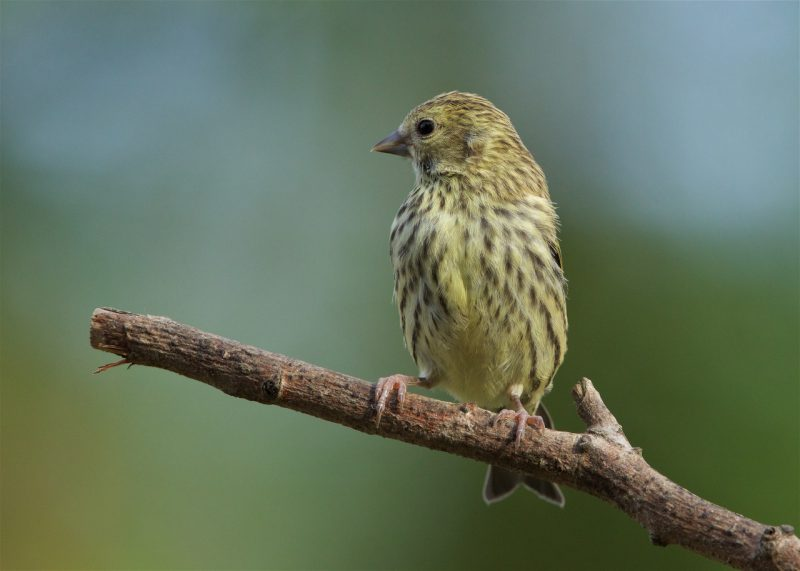 Siskin by Martin Bennett - Jun 1st, Furze Hill