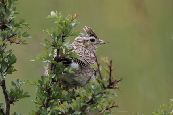 Skylark by Andy Tew - June 5th, Martin Down