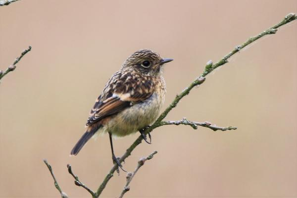 Stonechat by Andy Tew - June 26th, Fishlake Meadows