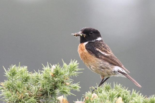Stonechat by Bob Marchant - June 5th, Acres Down
