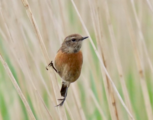 Stonechat by Rob Porter - May 28th, Lower Test Marshes