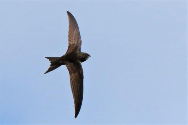Swift by Andy Tew - June 12th, Fishlake Meadows