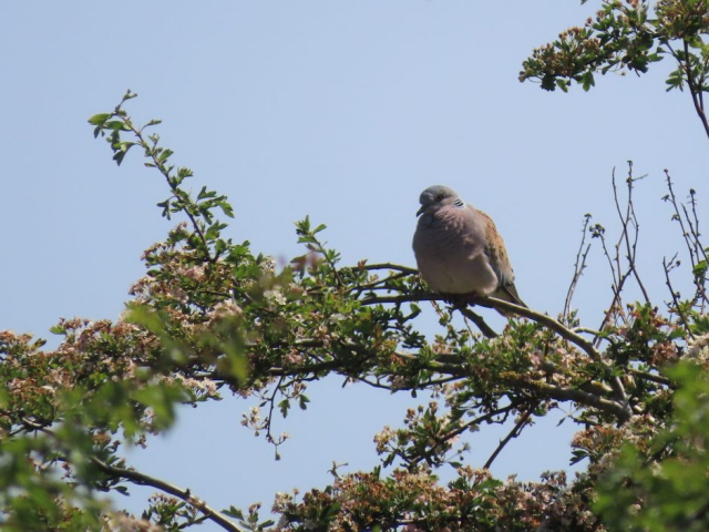 Turtle Dove by John Shillitoe - May 24th, Martin Down