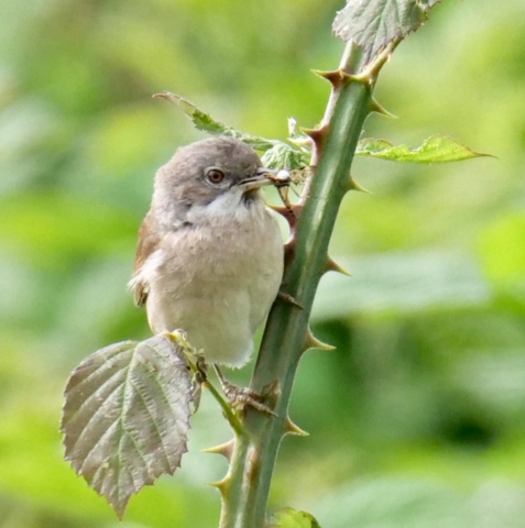 Whitethroat by Rob Porter - June 26th, Lower Test Marshes